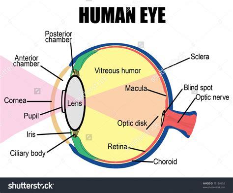 simple diagram of human eye simple human eye diagram