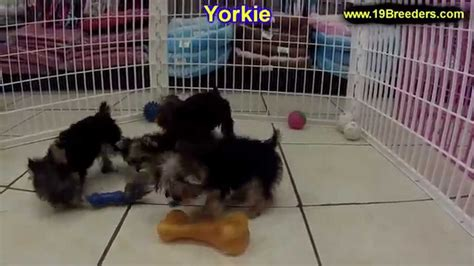 dogs for sale louisville ky terrier yorkie puppies dogs for sale in louisville kentucky ky