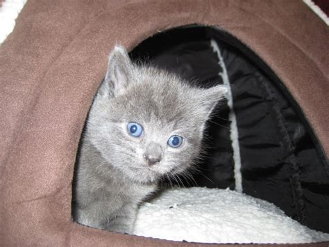 russian for sale 3 russian blue kittens for sale pets4homes