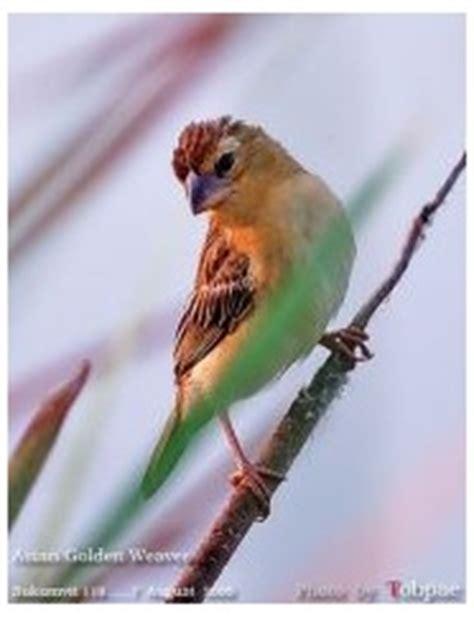 Mwr Betina macam macam jenis burung manyar streaked weaver