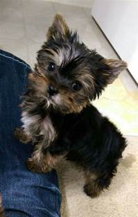 show me a yorkie show me pictures of yorkie puppies goldenacresdogs