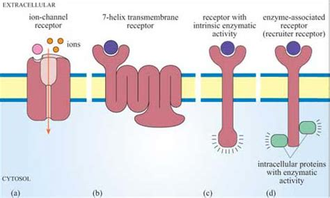 7 protein classes cell signalling 1 3 most receptors are on the cell