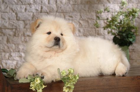 chow breed chow chow breed information with pictures pets world