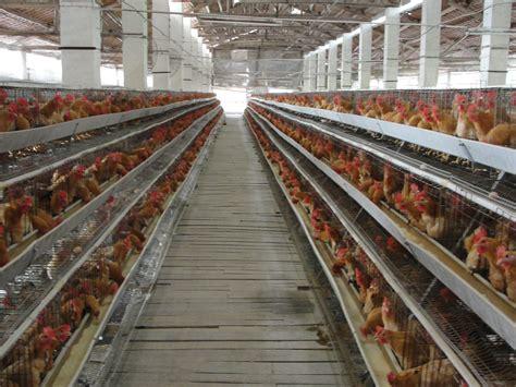 Alas Kandang Yang Baik Untuk Anak Ayam peralatan kandang ayam peralatan kandang ayam