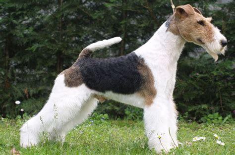 fox terrier wire fox terrier