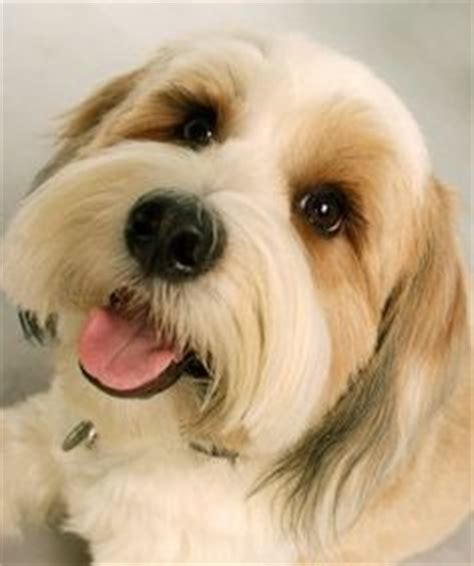 petfinders dogs for adoption petfinder tibetan terriers for adoption breeds picture