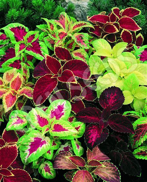 jual biji bunga coleus flame dancers tanaman daun hias