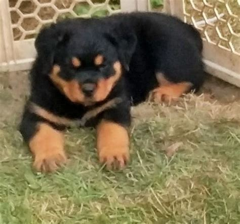 puppy rottweiler for adoption healthy rottweiler puppies for adoption offer marsa 400