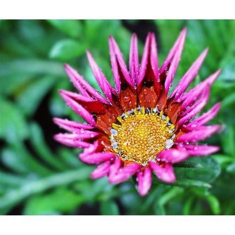 gazania fiore gazania piante perenni coltivare gazania
