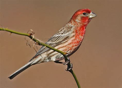 mexican house finch for sale haemorhous mexicanus wikipedia