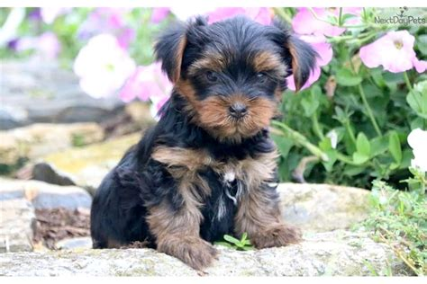 yorkies for sale in lancaster pa marty yorkie black brown terrier for sale in lancaster pa