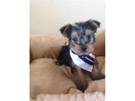 free puppies tacoma wa teacup yorkie puppies for re homing 484 381 0472 animals tacoma washington