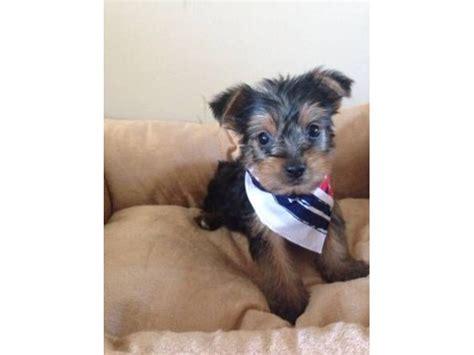 free puppies tacoma wa teacup yorkie puppies for re homing 484 381 0472 animals tacoma washington