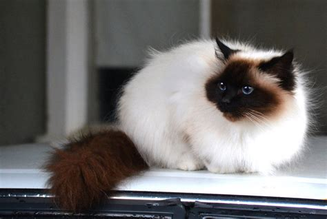 Birman cat facts pictures characteristics diet behavior