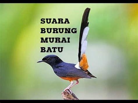 Kicau Burung Murai Batu Youtube | suara kicauan burung murai batu buat masteran youtube