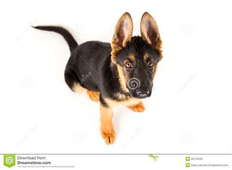 looking for german shepherd puppies puppy german shepherd looking up stock photo image 50710235