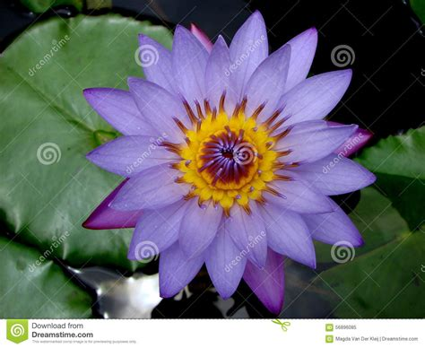 lotus flower india beautiful blue lotus flower in india stock image image