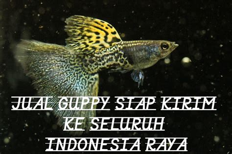 Jual Bibit Ikan Koi Import resi pengiriman desember 2016 jual guppy kualitas import