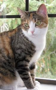 gallery for gt calico tabby cat mix
