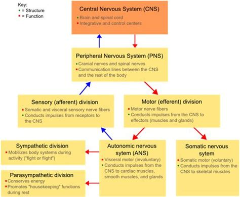 flow diagram of nervous system the missing in designing your program the
