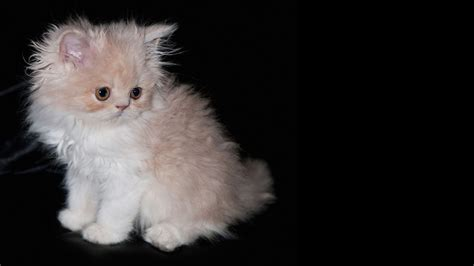 black fluffy fluffy kitten on a black background wallpapers and images wallpapers pictures photos