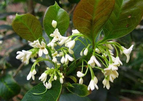 shrub with small white fragrant flowers fragrant tea olive osmanthus fragrans large evergreen