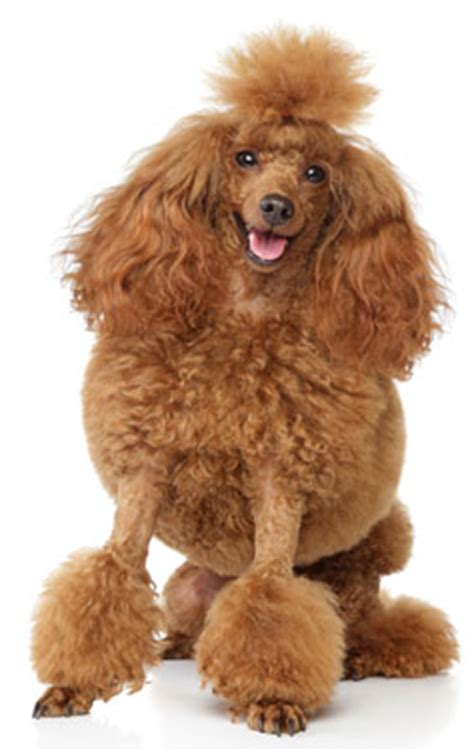 poodles long hair in winter fluffy dog breeds american kennel club