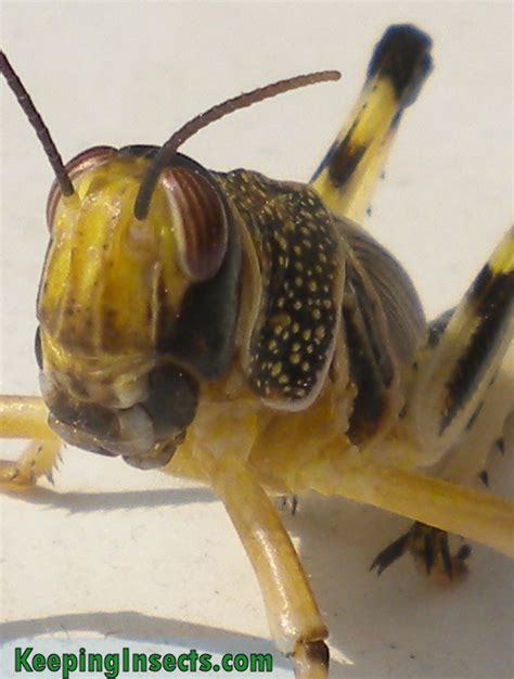 Best Feeder Insects grasshoppers locusts as pets or feeder insects keeping insects