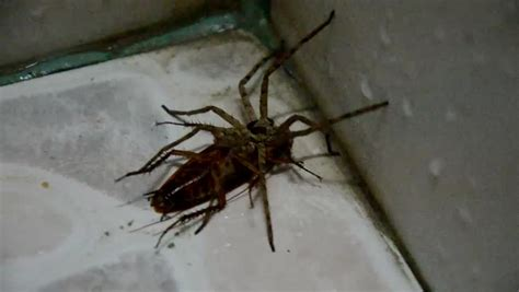 video in the bathroom spider eat cockroach in the bathroom stock footage video 6724567 shutterstock