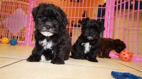maltipoo puppies for sale ga adorable malti poo puppies for sale maltese poodle breeders atlanta at