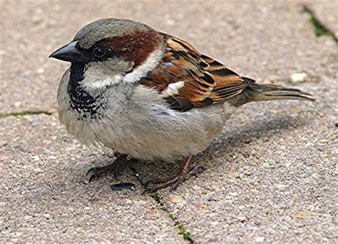 english house sparrow english house sparrow riverside california july 15 2013 birds life list