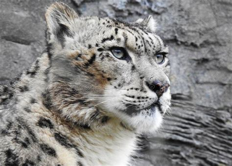 reset nvram snow leopard a snow leopard looking into the distance stock image