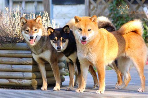 shiba inu colors sabine shiba ckk on quot 3 3 colors