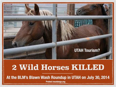 blm mustang roundup breaking 2 horses killed at roundup 7 year mare
