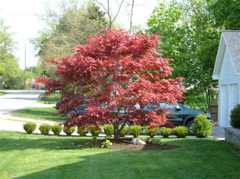 maple tree for sale bloodgood japanese maple trees for sale the planting tree