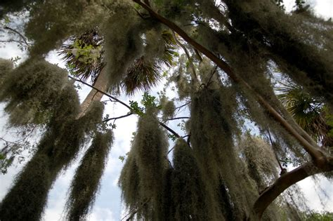 Tallahassee Upholstery Mesmerized By Stunning Spooky Spanish Moss Hanging From