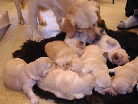 golden retriever puppies katy tx free golden retriever puppies ls1tech
