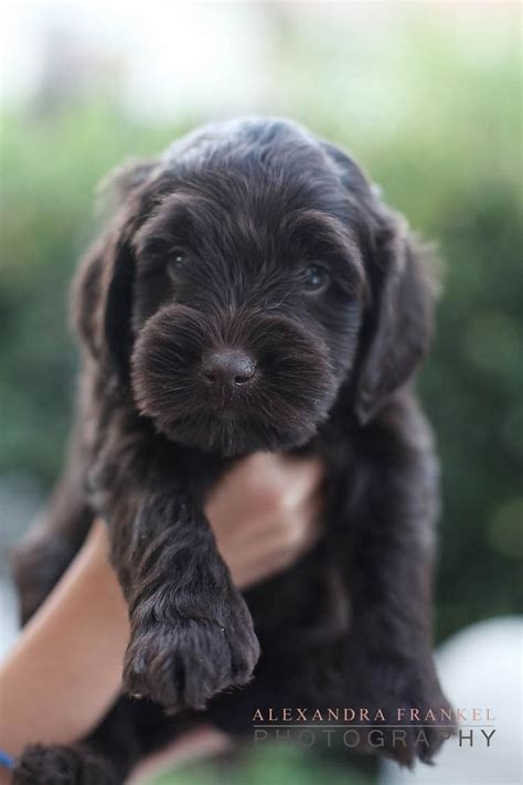 brown labradoodle puppy 25 best ideas about chocolate labradoodle on labradoodle puppies