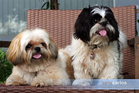 shih tzu cafe pet portraits shih tzu dogs wedding portrait and lifestyle photographer asha