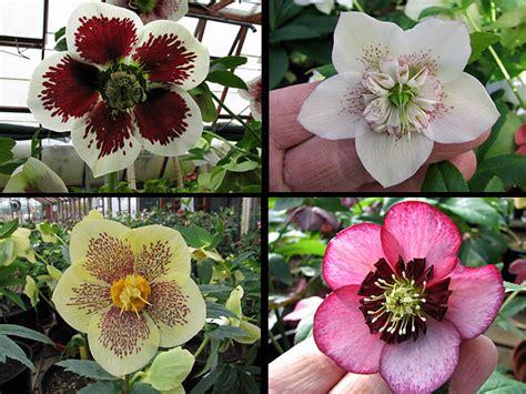 how to plant and grow hellebores the garden of eaden