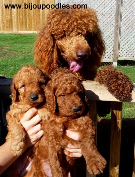 do puppies miss their mothers the bijou poodle difference raising puppies puppy raising