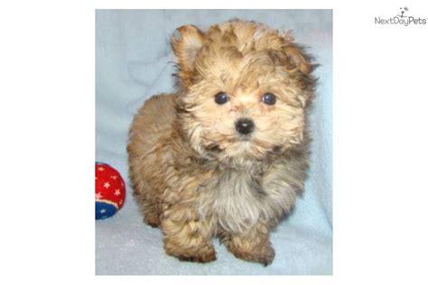tiny yorkie poos meet tiny tim a yorkiepoo yorkie poo puppy for sale for 500 tiny tim t cup