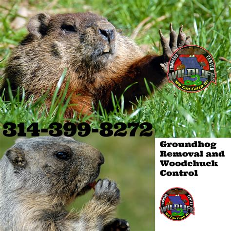 groundhog problem in st louis wildlife command center mo