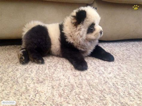 chow chow panda puppies for sale chow chow puppy for sale in pennsylvania pets chow puppies panda and