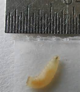 Small White Worms In Kitchen - white maggots on kitchen floor thefloors co