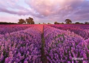 Lavendelfelder Provence by Fototapete Lavendel 184x127 Duftiges Lavendelfeld In