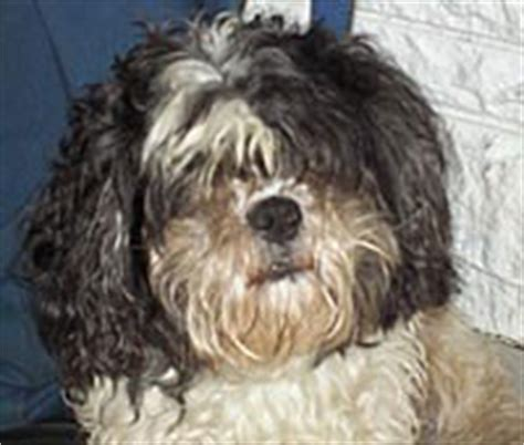 shih tzu going blind blind shih tzu abandoned in newark park