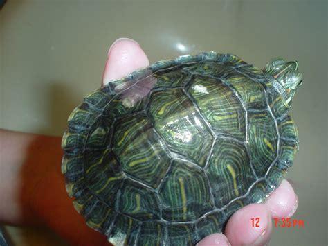 red ear slider   small spots   shell