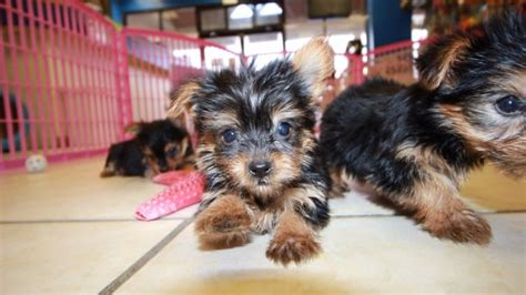 teacup yorkie ga teacup terrier puppies for sale in atlanta at puppies
