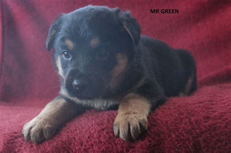 rottweiler x german shepherd puppies for sale german shepherd x rottweiler puppies stowmarket suffolk pets4homes